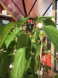Tomat- och chili plantor