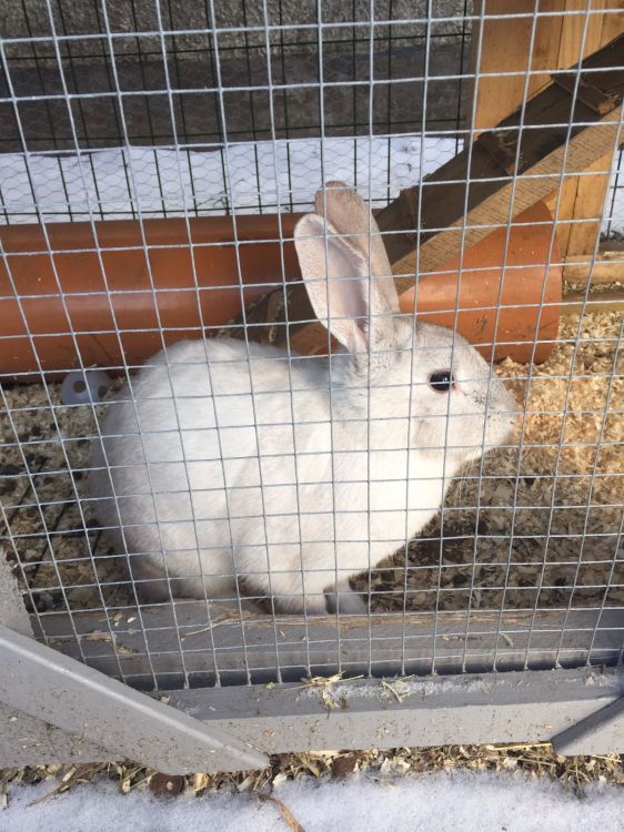 Gotlands kanin