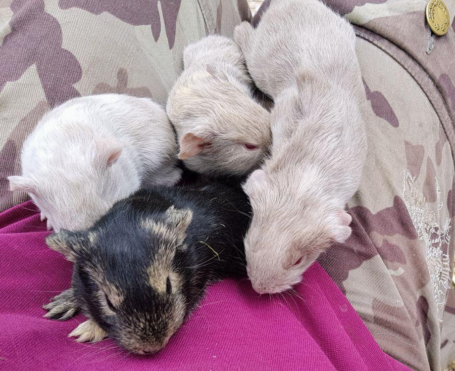 Marsvin ungar