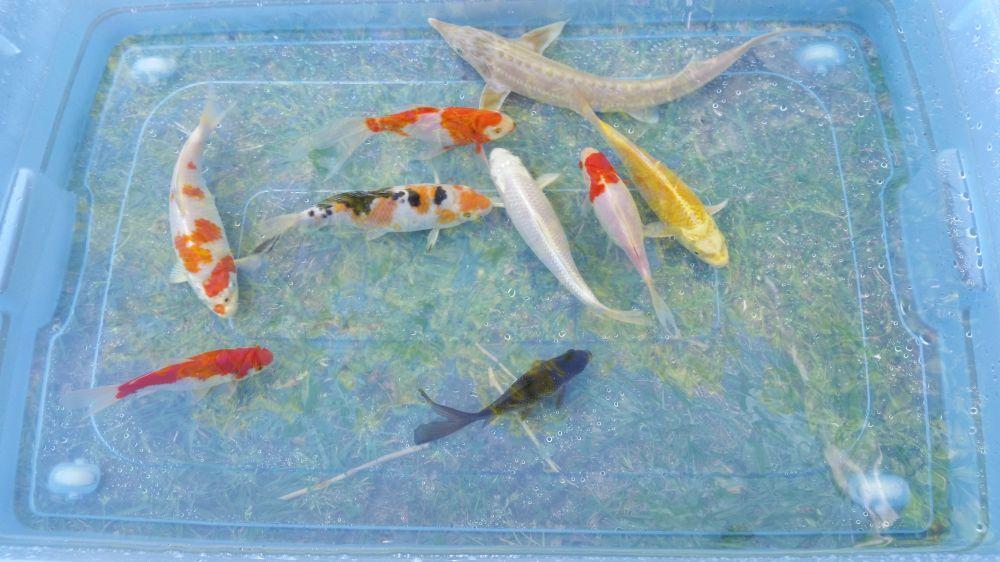 Akvarie / Dammfiskar säljes.