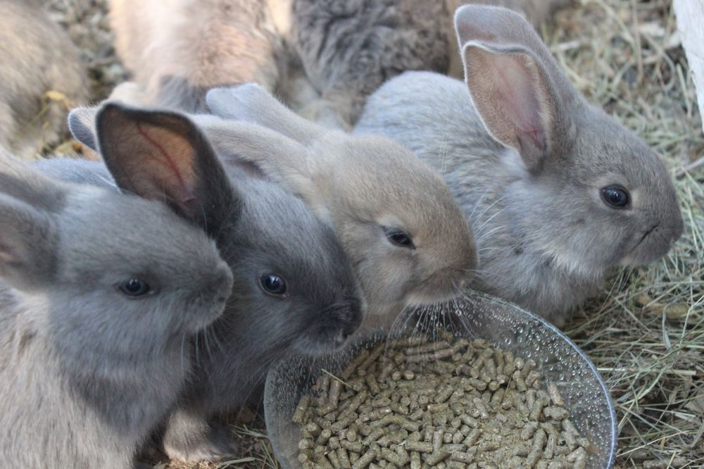 Belgisk Jätte kaninungar