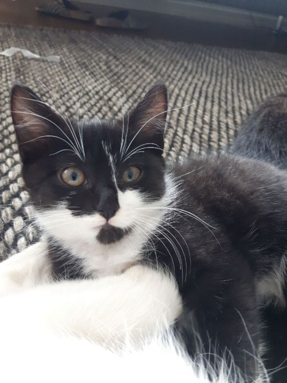 Mysig kattunge