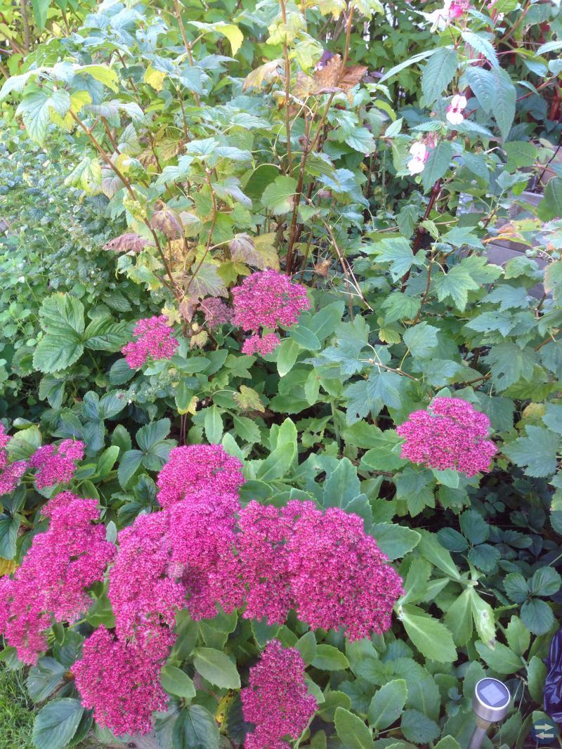 Trädgårdsväxter: fjärilsbuske, vinbär m.m