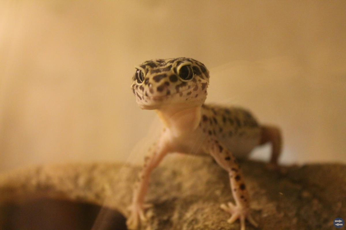Två leopardgeckos behöver nytt hem!