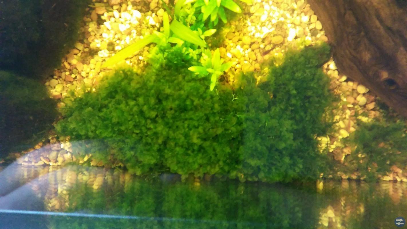 Monosolenium tenerum på roten 30x10 cm.