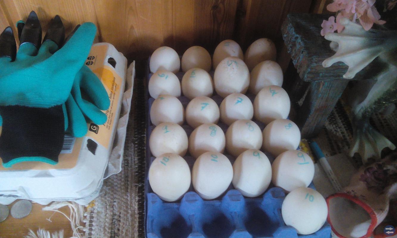 Höns Ägg från helt frigående höns
