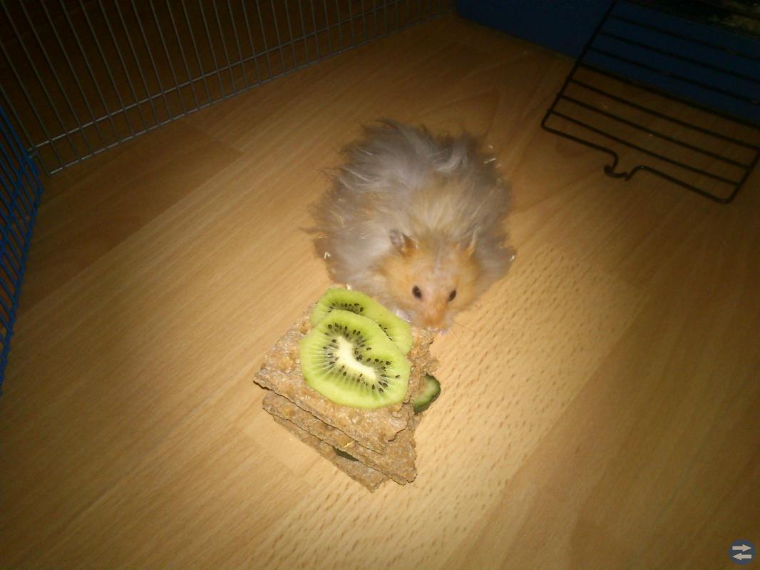 En hamster önskas till familjen