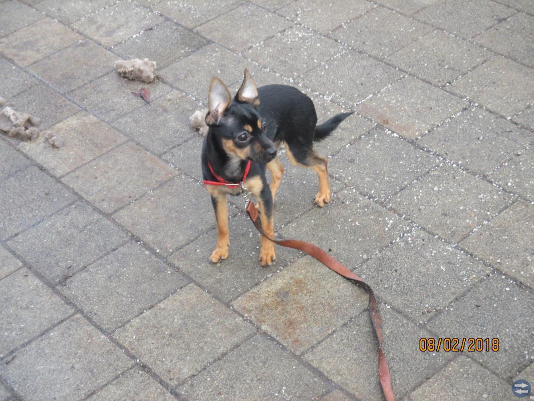 Hund-valp Russkiy Toy - Terrier