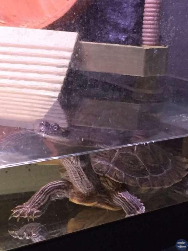 Kartsköldpaddor