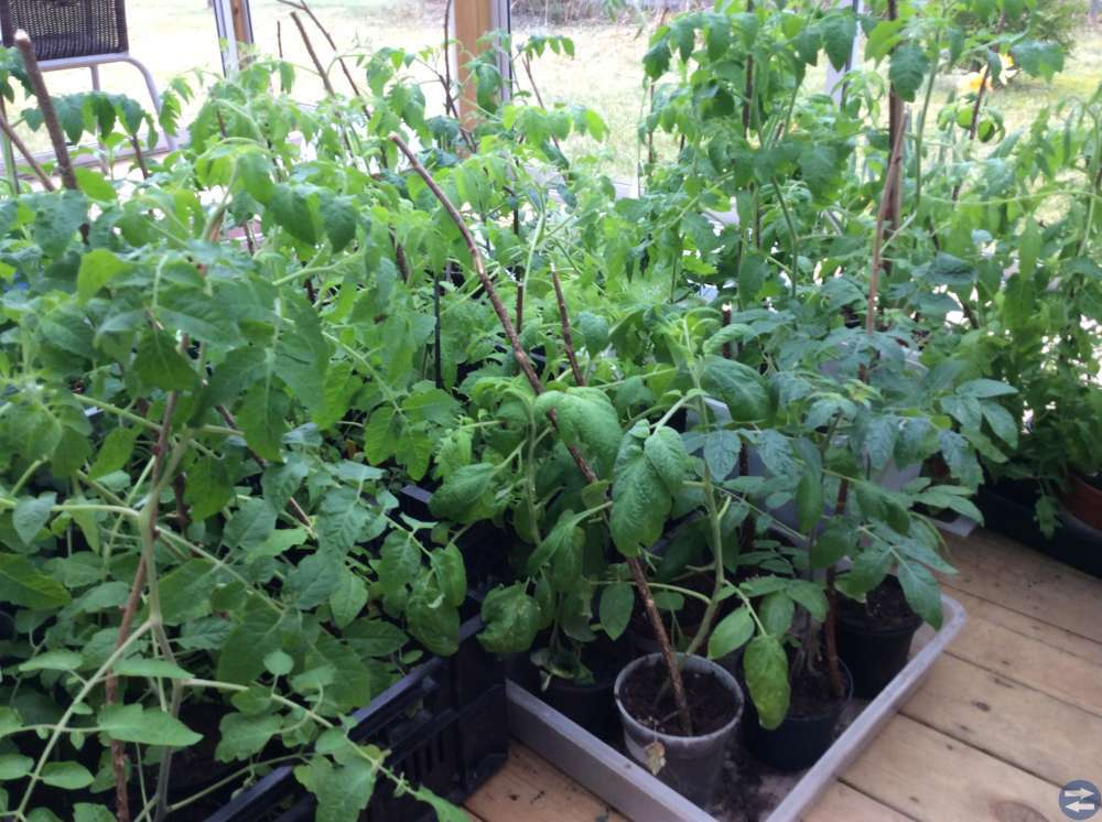 Tomat plantor