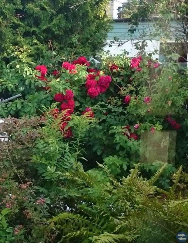 Rosenbuskar bortskänkes