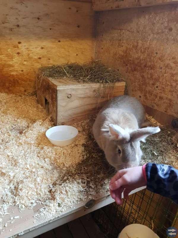 Bort skänkes! Lejonhuvad/belgisk jätte kaniner