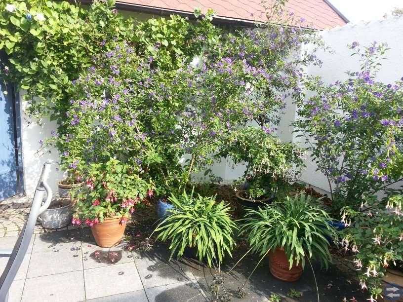 Växter , träd, dahlia knölar till trädgård