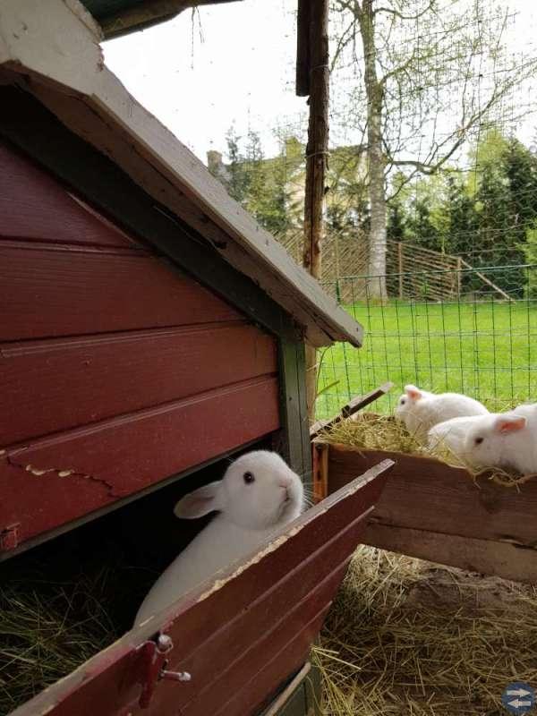 Vita dvärgvädur kaninungar till salu