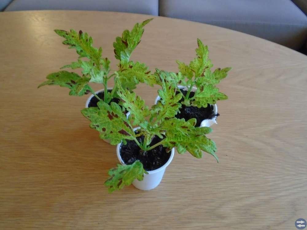 Fina, planterade skott av Palettblad ( Nässsla )