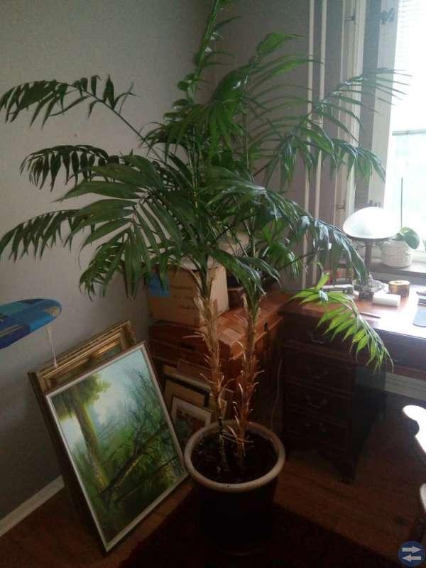 Jätte palm