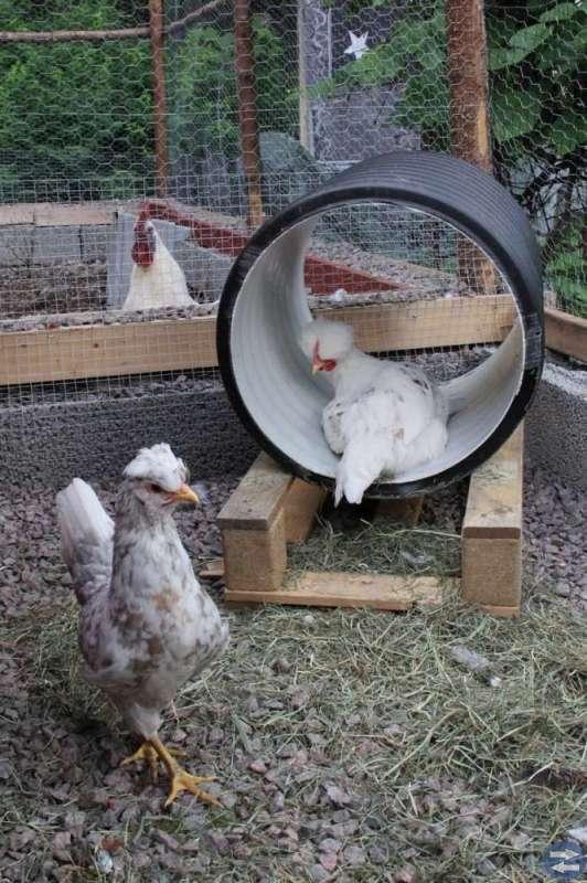 Nya chefsämnen till din  hönsgård?
