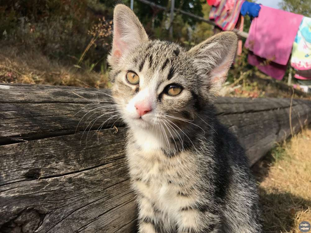 Kattungen Trixie söker nytt hem