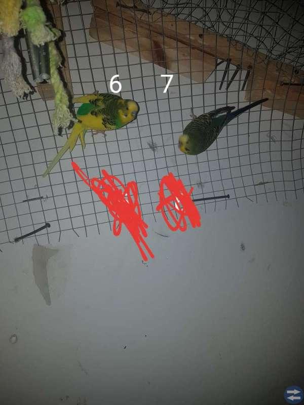 Undulater å nymfparakiter biligt