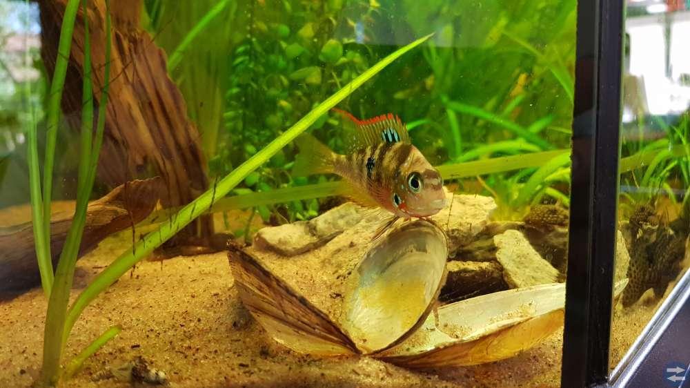 Vackra akvariefiskar Thorichthys ellioti