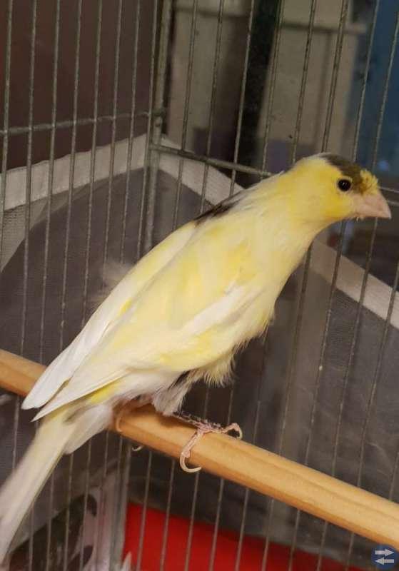 Kanari fåglar