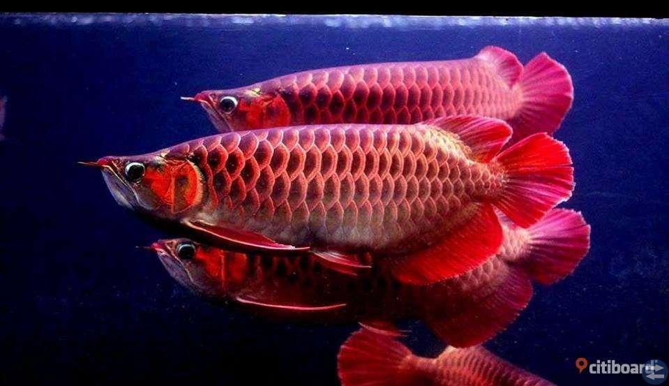 Tillgängliga Arowana fiskar