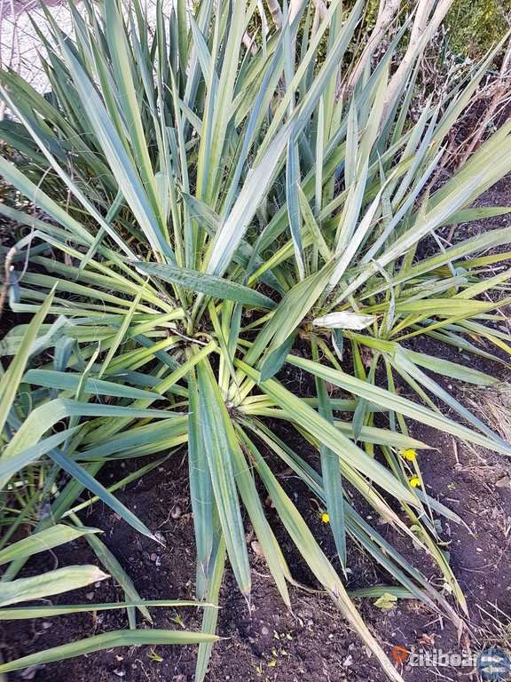 Jucca Palm stora plantor
