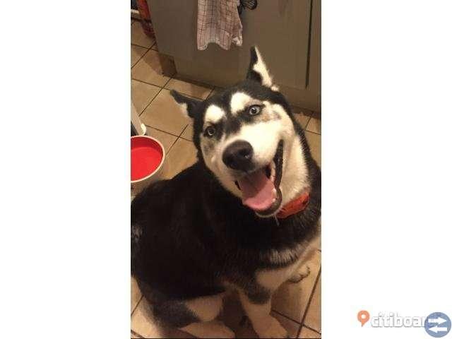 Husky hund söker ett hem av kärlek