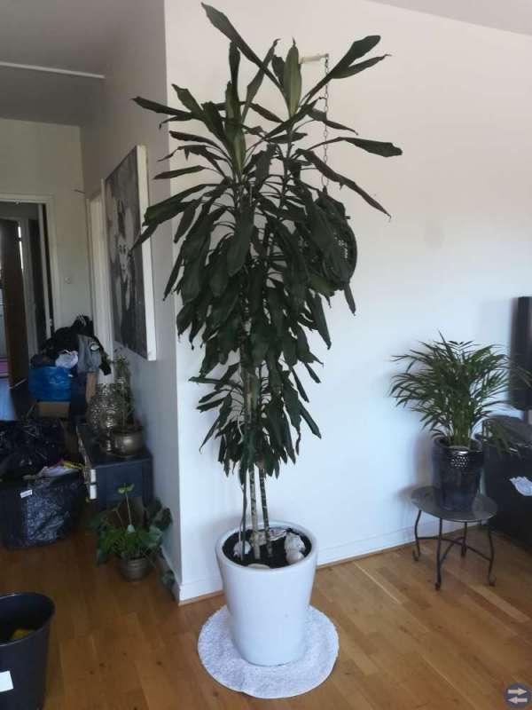 Palmväxt mkt stor 2,30m hög.