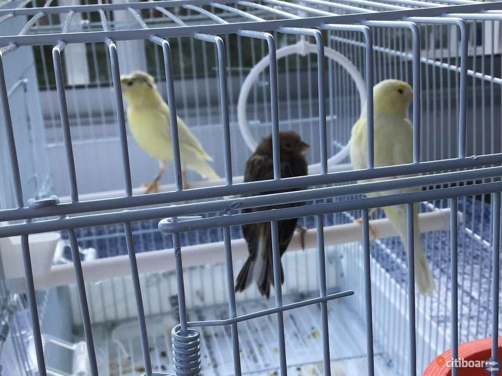 Kanariefåglar