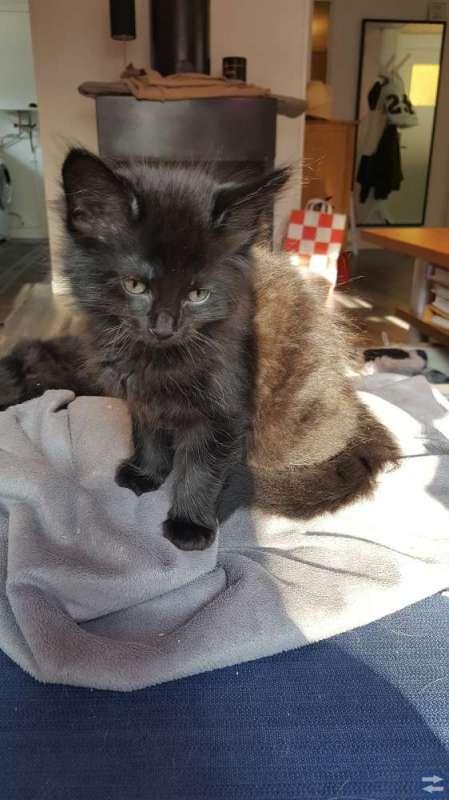 Maine coon/ragdoll/siames kattungar