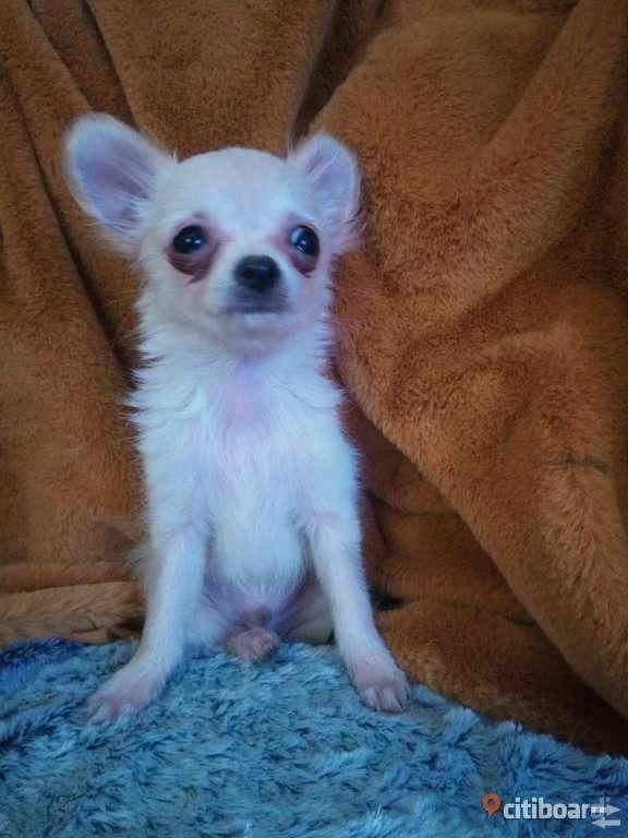 Chihuahua valpar