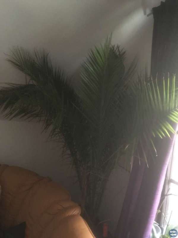 Stor palm